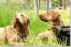 Chesapeake-Bay Retriever